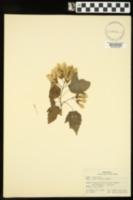 Acer tataricum image