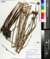 Schoenoplectiella mucronata image