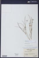 Callisia graminea image