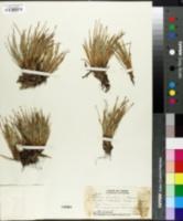 Image of Oreobolus furcatus