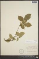 Ulmus thomasii image