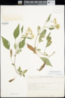 Image of Ageratina adenophora