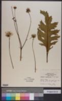 Image of Silphium compositum