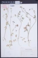 Image of Daucus sahariensis