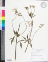 Image of Ligusticum canadense