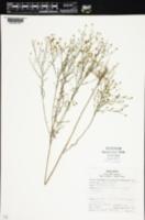 Xanthocephalum texanum image