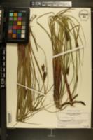 Carex striata image