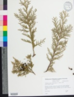 Chamaecyparis lawsoniana image