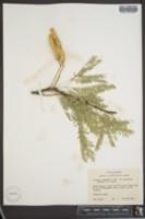 Prosopis juliflora var. torreyana image