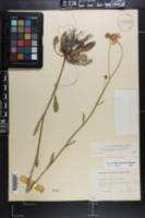 Helenium brevifolium image