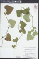 Aristolochia elegans image