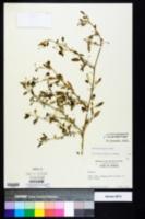 Image of Solanum pseudogracile