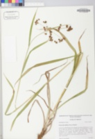 Image of Scirpus flaccidifolius