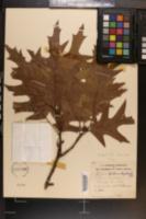 Quercus falcata var. pagodifolia image