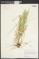 Carex reniformis image