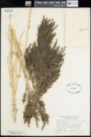 Suaeda calceoliformis image