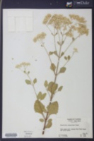 Eupatorium mikanioides image