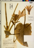 Hosta plantaginea image