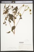 Rudbeckia triloba image
