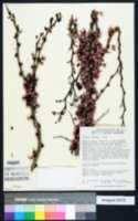 Image of Cercis chingii