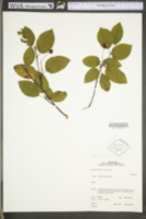 Image of Amelanchier neglecta