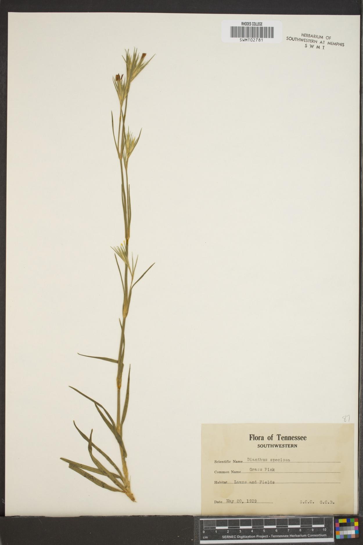 Dianthus speciosus image