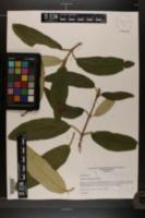 Viburnum rhytidophyllum image