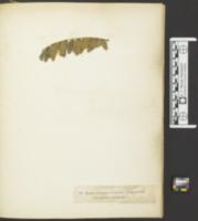 Image of Helminthosporium olivaceum