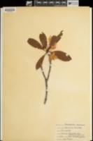 Rhododendron macrophyllum image