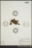 Azolla caroliniana image