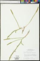 Lycopodiella margueritae image