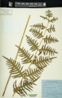 Pteris similis image