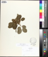 Cotinus coggygria image