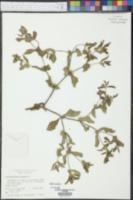 Acanthospermum hispidum image