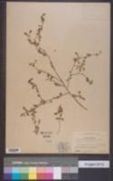 Image of Solanum microphyllum