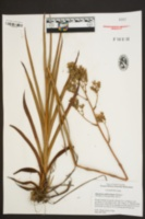 Zigadenus glaberrimus image