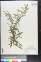Symphyotrichum parviceps image