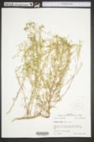 Image of Polanisia erosa