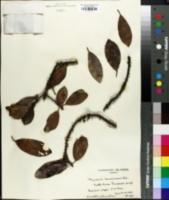 Image of Myrsine lanaiensis