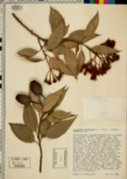 Image of Eucalyptus ficifolia