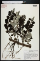 Vitex rotundifolia image