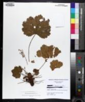 Image of Heuchera missouriensis