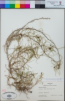 Mutisia subulata image