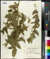 Image of Cestrum strigillatum