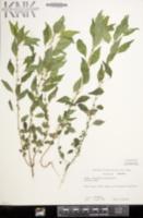 Parietaria pensylvanica image