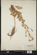 Tanacetum balsamita image