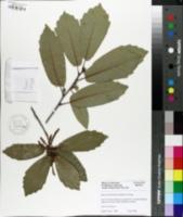 Quercus polymorpha image