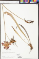 Sarracenia leucophylla image