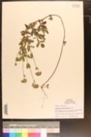 Image of Eupatorium betonicifolium