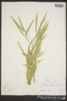 Image of Phyllostachys glauca